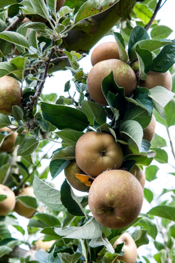 historia-manzana