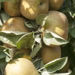 manzana-campana