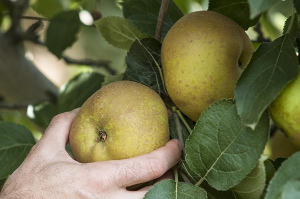 cosecha-manzana-43