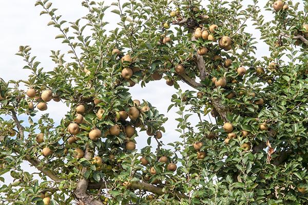 cuando se podan los arboles frutales simple podar arboles