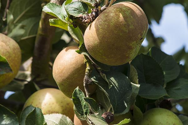 manzana-manzano